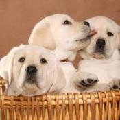 pups cubs